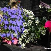Balkonnövények ápolása