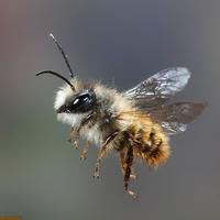 Ki a jobb beporzó - a méh vagy az ember?