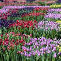 Elkezdődött a tulipánszezon