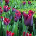 Virághagymák: felkészülés őszi ültetésre