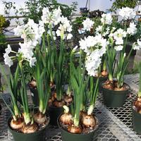 Hagymás virágok teleltetése