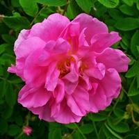 Virágok királynője az év gyógynövénye