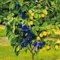 Gyümölcsoltó Boldogasszony napja: fák oltása Füvészkertben
