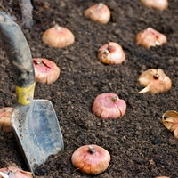 Hagymás virágok őszi ültetése (gyakorlat)