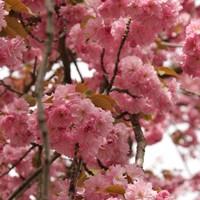 桜 – Sakura ünnepe, avagy Japán a 8. kerületbe költözik