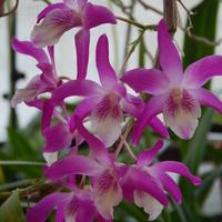 Ezernyi forma, millió szín - a Dendrobiumok tarkabarka világa