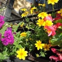 Balkon aranya - a sárga virágzuhatag