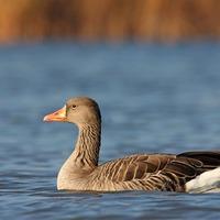 Érdekességek madarainkról: Vadludak, a nagy vándorok