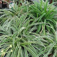 Agglegénylakások növényei