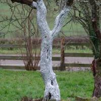 Fehér lábú gyümölcsfák