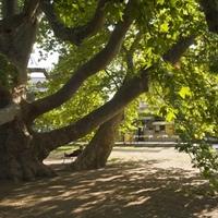 Egri platán lehet az Év Fája Európában