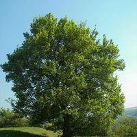 Az Év Fája: a mezei juhar