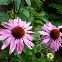 Kasvirág (Echinacea)
