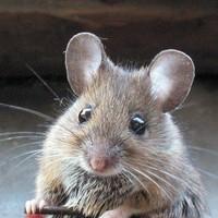 Egerek ellen - könyörtelenül