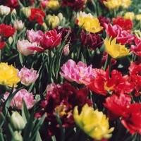 A kora tavaszi virágokért most kell ásni