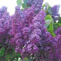 Orgona, a tavaszi kert illata
