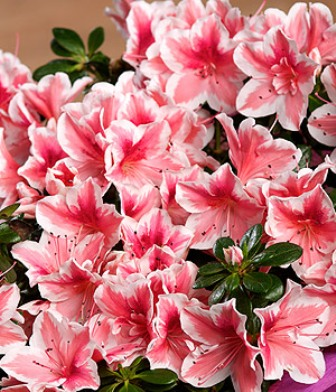 PRODUCT_PLANTS_Azalea_Teacup_roll1.jpg