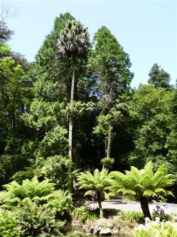 Az előtérben tasmán párfényfák.JPG