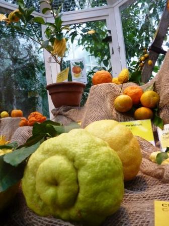 Citromtermeések a bécsi botanikus kertben.JPG
