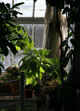 coltivare-piante-in-balcone-stevia.jpg