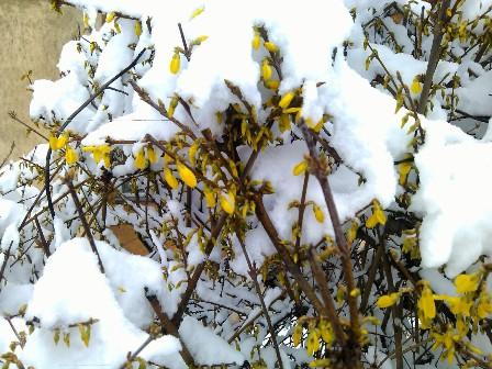 Aranyvirág hókeretben.jpg