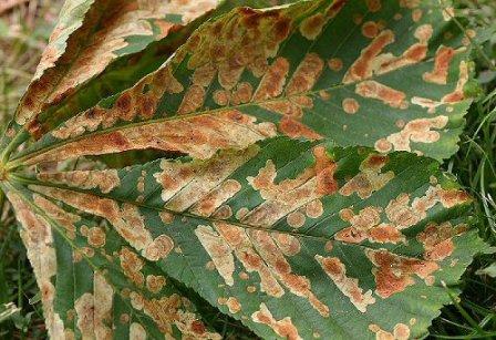 Aknajáratok-a-vadgesztenye-levelén-Forrás_www.leafmines.co_.uk_.jpg