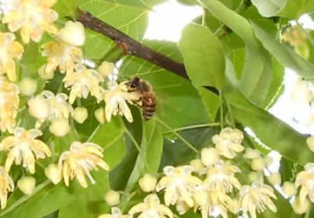 A méhek is kedvelik a hársfa virágot.jpg