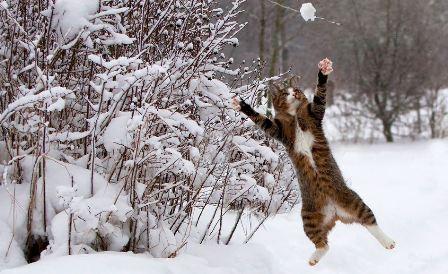 A macskák szeretnek hógolyózni.jpg