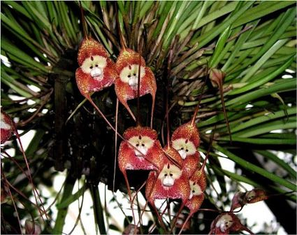 Macaco orchidea 1.jpg