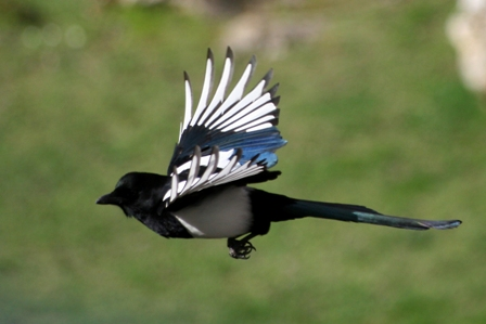 Magpie-from-Stock-xchng-499878_13775183_1.jpg