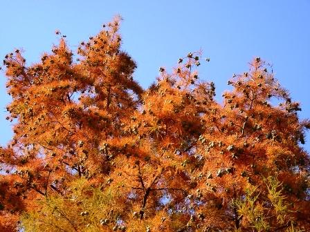 005 A Fésűs mocsárciprus pazar őszi színeis P1220925.JPG