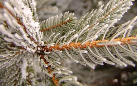 snowy_pine_2560x1600_2151.jpeg