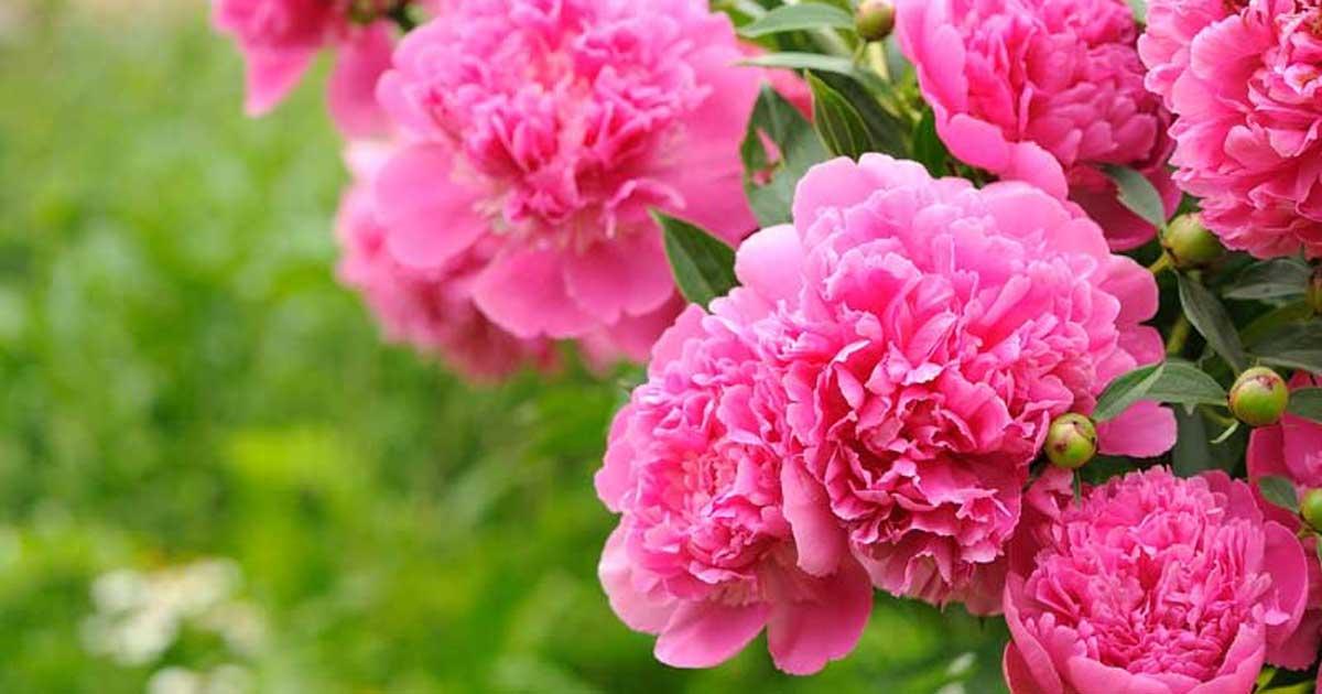 blooming-peony-10312015.jpg