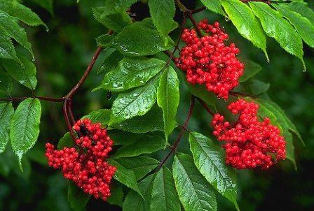 Red-Elderberry-Sambucus-racemosa-Shrub.jpg