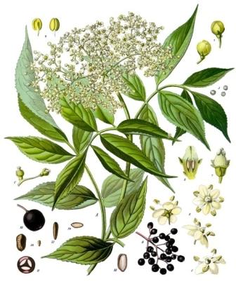 Sambucus_nigra_-_Köhler–s_Medizinal-Pflanzen-127.jpg