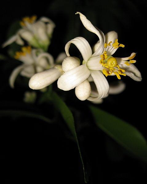 478px-Improved_Meyer_Lemon_Early_Flower.jpg
