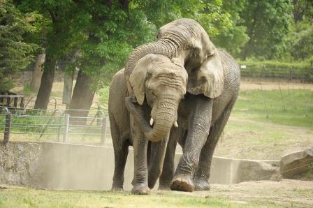 elefánt szex 287.jpg