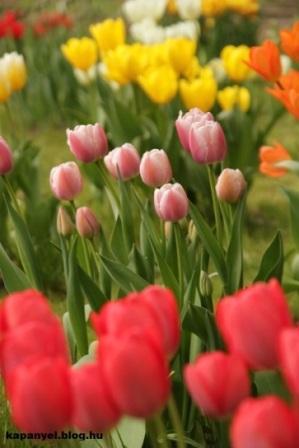 tulipánok_1.JPG