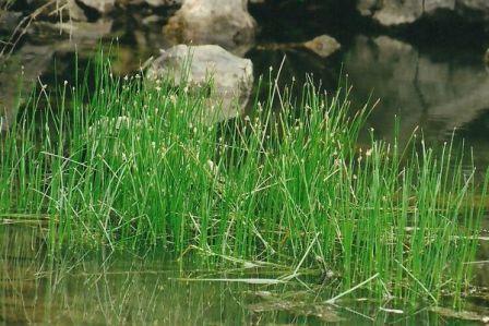 Eleocharis palustris-csetkáka.jpg