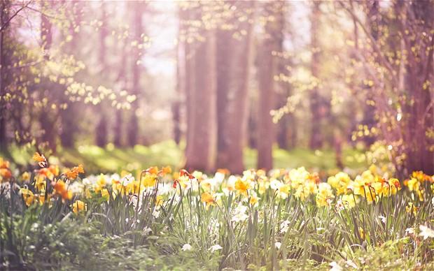spring-daffodils_2845661b.jpg