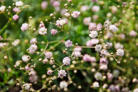 rózsás fátyolvirág.jpg