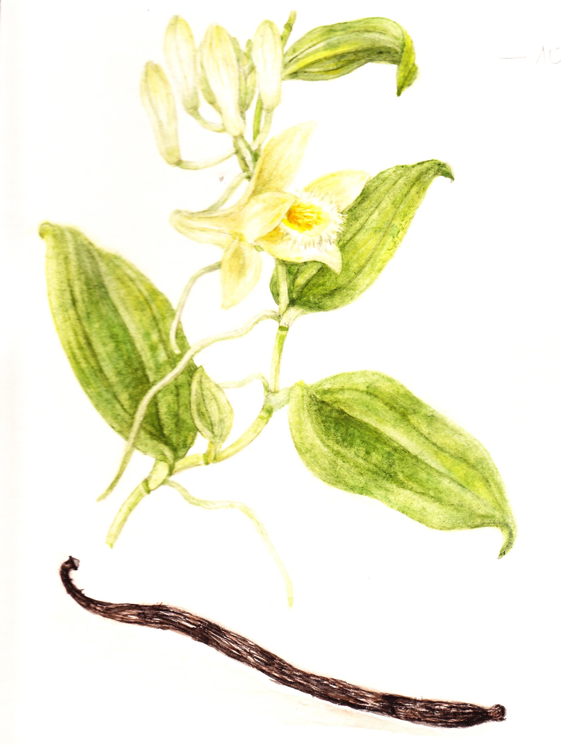 vanilla_planifolia_termesselvargaemmarajza.jpg