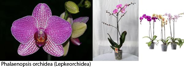 phalaenopsis_w.jpg