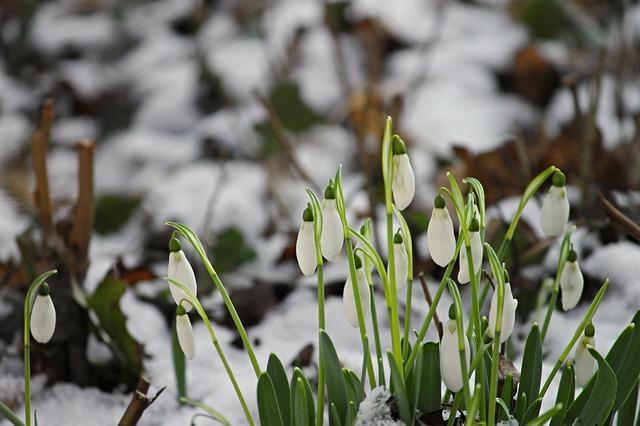 snowdrop-3132779_640.jpg