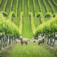 Minijuhok a kiváló borok szolgálatában