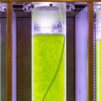 Mikroalgák, a jövő alternatív erőforrásai
