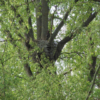 Ádánd: fekete gólya nyárfán 2011.04.25.