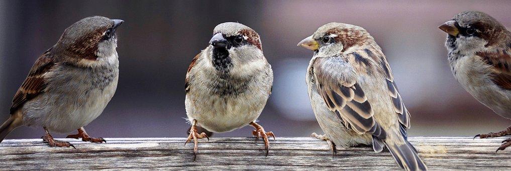 sparrows-2759978_340.jpg
