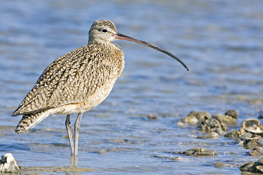 curlew_natures_pics.jpg