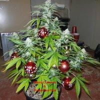 Kis karácsony, nagy karácsonyfa